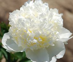 Peony 'Bridal Shower' - Extremely pure, clear white bomb with refined smooth shape. Fragrant.