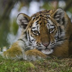 Amur tiger cub | by RedPlanetClaire