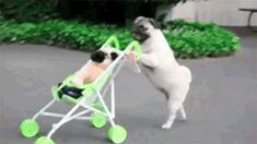 They can pretend to be humans and will probably take over the world at some point in history. | 41 Reasons Why Pugs Are The Most Majestic Creatures On Earth