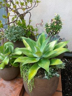 Potted Suculants for the pool area. Potted Suculants for the pool area. Succulent Outdoor, Outdoor Pots, Succulent Gardening, Succulent Pots, Succulents Garden, Garden Pots, Succulent Landscaping, Container Gardening, Garden Ideas