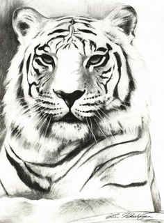 Choose your favorite white tiger drawings from millions of available designs. All white tiger drawings ship within 48 hours and include a money-back guarantee. Tiger Sketch, Tiger Drawing, Tiger Art, Drawing Drawing, Animal Sketches, Animal Drawings, Art Sketches, Art Drawings, Big Cats Art