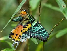 ALLPE Medio Ambiente Blog Medioambiente.org : La polilla crepuscular de Madagascar