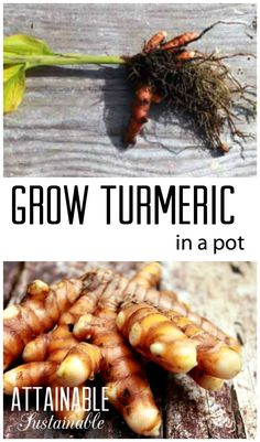 Growing turmeric in a pot or in the garden. Plus turmeric recipes!