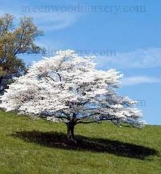 picture of regular dogwood not in bloom | ... ideas wildlife plants white flowering dogwood white flowering dogwood