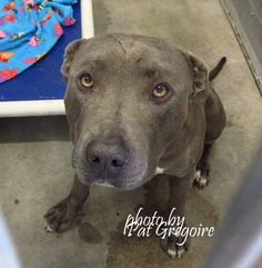 SAFE --- A4822412 I am a friendly 2 yr old male blue/white pit bull mix. I came to the shelter as a stray on April 25. available 4/29/15. located in bldg 4 - no public view (no room in bldg 1) NOTE: Pit bulls are not kept as long as others so those dogs are always urgent!!  Baldwin Park shelter https://www.facebook.com/photo.php?fbid=960269363984901&set=a.705235432821630&type=3&theater