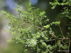 Taranaki Educational Resource: Research, Analysis and Information Network - Prumnopitys taxifolia (Matai, Black pine) Research, Banks, Nativity, Pine, Trees, Education, Google Search, Search, Pine Tree