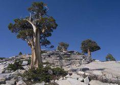 ancient western juniper