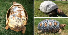 When Freddy the tortoise was caught in a bush fire in Brazil, his chances of survival were slim. But thanks to a group of pioneering surgeons known as The Animal Avengers, Freddy not only survived his ordeal - he is also now the proud owner of the world's first 3D printed shell!