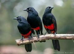 Red-bellied Grackles (Hypopyrrhus pyrohypogaster) endemic to Colombia by Priscilla Burcher on flickr.