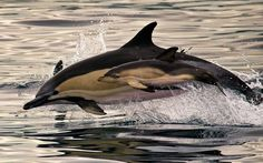 A baby dolphin earns its jumping stripes as it swims alongside its mother and leaps out of the water next to her. The dolphin calf was virtually stuck to its mothers side as they swam before simultaneously jumping a metre out of the water near the Sao Miguel Island of the Azores region, Portugal   Picture: Sascha Losko/Solent (via Pictures of the day: 6 August 2013 - Telegraph)