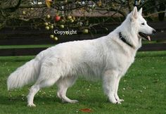 White Swiss Shepherd Dog.  Pure perfection!