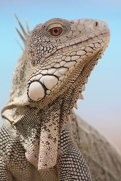 **Leguaan. Not colored as pretty as many lizards but very regal looking!