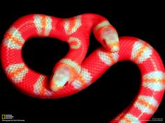 "Hennessy, 58, has ""a passion for photographing wildlife, and anything strange and unusual."" A two-headed albino Honduran milk snake filled both bills. - Photograph by Paul Hennessy From ""Top Shots"", National Geographic, April 2012"