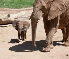 What a cutie! Baby elephant at the Safari Park