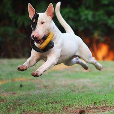 SuperStan: Flying bull terrier