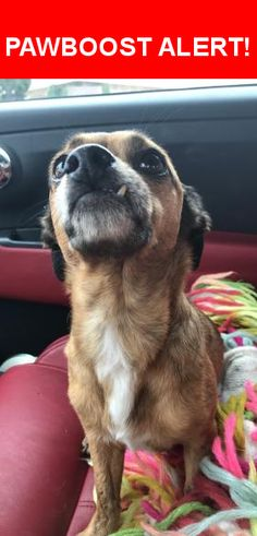 Is this your lost pet? Found in San Diego, CA 92109. Please spread the word so we can find the owner!  Very sweet, cute lil snaggle tooth, pretty light brown coat with dark brown ears. No collar.  Near Wilbur Ave & Pendleton St
