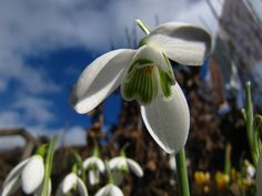 snow drops the first signs of spring...