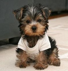 really cute little Yorkshire Terrier. Awe reminds me of my mini runt yorkie dog Simon. Best dogs ever! Teacup Yorkie, Baby Yorkie, Mini Yorkie, Tea Cup Yorkie Puppies, Baby Pets, Yorkie Puppy For Sale, Shitzu Puppies, Teacup Puppies, Baby Animals