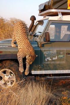 Africa | Leopard climbing over a Defender in Namibia Do you think they were silly enough to leave the vehicle ?? | © Land Rover Our Planet, via Flickr