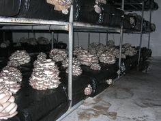 cultivo de seta de ostra (orellana) de producion elevada