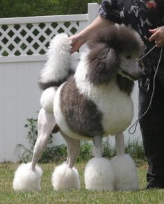 Silver & White Parti-color Standard Poodle // U-GRCH Tintlet Here's Your Sign (Rune) // Tintlet Poodles Poodle Grooming, Dog Grooming, I Love Dogs, Cute Dogs, Poodle Haircut Styles, Poodle Cuts, Bulldog Breeds, Best Dogs, Dogs And Puppies