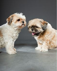 WAYS TO BREAD SHIH TZU DOGS: male and female Shih Tzu dogs. (Helpful tips on how to bread Shih Tzo Dogs.)