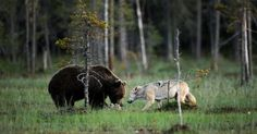 Photographer Sees Bear Close In On Wolf. But He Has No Idea About The Incredible Reason Why.