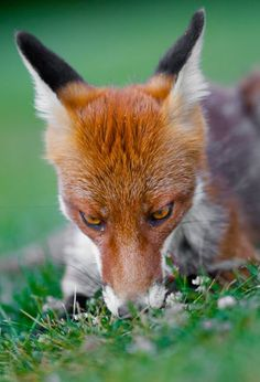 Red Fox by Goran Anastasovski - National Geographic Your Shot Fox Squirrel, Pet Fox, Most Beautiful Animals, Beautiful Creatures, Fox Face, Little Fox, Coyotes, Animal Totems, National Geographic