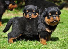 Cachorritos de rottweiler