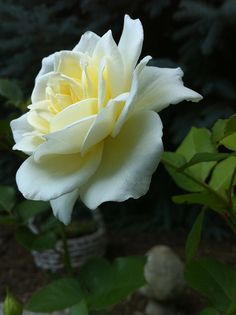 One of Crystals favorite flowers, white roses