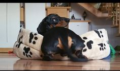 dachsund-looking-for-forever-home-596cdfe41d73f.jpg 1,080×639 pixels