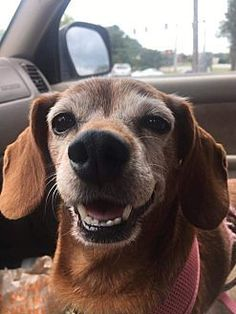 DEVATER, GA - MARLEIGH is a Dachshund for adoption to a loving home