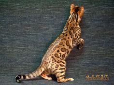 Adelhills Bengal Cats