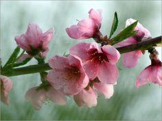 Poster Japanische Kirchblüten