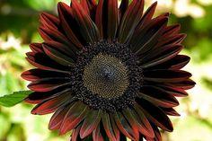 Gothic Garden... Black Sunflower.