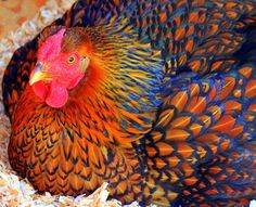 Golden Laced Wyandotte hen : beautiful!