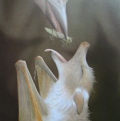 O Mon Dieu! A baby albino bat being fed by a bird.>> This is from the book Stellaluna, and she's not albino, but she /is/ adorable! Animals And Pets, Baby Animals, Cute Animals, Wild Animals, Creatures Of The Night, All Gods Creatures, Beautiful Creatures, Animals Beautiful, Amazing Animal Pictures