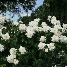 """Die Kletterrose """"Ilse Krohn®"""" gehört zu den pflegeleichten Kletterrosen, die für fast jede Witterung geeignet ist. Ihre Blüten sind regenfest, sie kann auch im Halbschatten stehen und kann Hitze sehr gut vertragen.Die Blüten dieser Rose sind schneeweiß und besonders edel gefüllt. Sie verströmen einen herrlichen Duft und blühen von Juni bis September.Der Wuchs der """"Ilse Krohn®"""" ist aufrecht und kletternd, lange Triebe sind leicht überhängend und geben ihr damit ein üppiges ... Flower Art, Flowers, Plants, Inspiration, Juni, September, Inspire, Pink, Climbing Roses"""