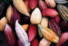 Piden programa especial para producción de #cacaocriollo