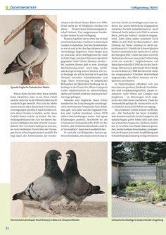 show antwerp pigeon homer - Google keresés