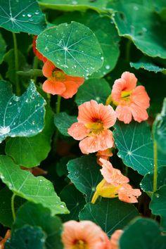 """""""I början när jag valde perenner tittade jag kanske bara på att själva blommorna skulle matcha och inte så mycket på bladverken. Jag odlade också mer konstiga svårskötta grönsaker och annorlunda sommarblommor. Jag ville testa allt, men numera odlar jag det som trivs hos mig. Jag orkar inte fjäska för svårskötta växter. Det enda undantaget skulle väl kunna vara lavendelhäcken då."""" Garden Inspiration, Matcha, House Plants, Plant Leaves, Flowers, Gardens, Indoor House Plants, Foliage Plants"""