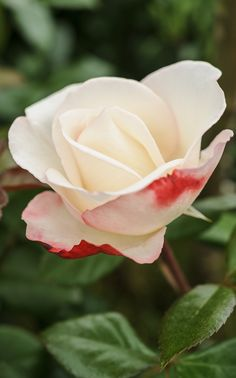 Scented roses: 'Nostalgia' is a strongly scented hybrid tea rose with cream flowers, tinged cherry red on the outer petals. Photo by Jason Ingram