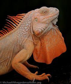 albino iguana