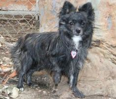 Sebastian is an adoptable Papillon Dog in San Gabriel, CA. This handsome little boy is estimated to be between 1 and 1 1/2 years old and weighs about 7.3 pounds. He gets along with his kennel mates, s...