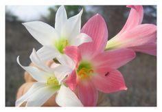 Cebolinha do mato. Flores da Caatinga. Macaúbas, Bahia.