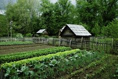 Succession planting is an effective technique to amplify the vegetable yield from a permaculture garden. Read more about succession planting