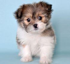 Pomeranian Shih Tzu >>we Just got one