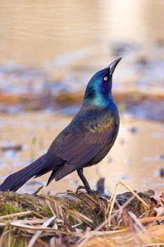 Grackles are aggressive and noisy; they bully the songbirds and hoard the food. TO DISCOURAGE GRACKLES – Since they are large and prefer platform feeders, eliminate those from your garden. If removing the platform feeder is not possible, fill it with striped sunflower seed. Grackles avoid that seed because of the thick, hard shell.