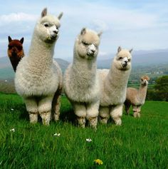 alpacas; how can you not just want to run up and hug these guys?!?