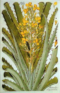 Nikolaus von Jacquin: Bromelia chrysantha